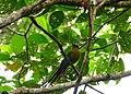 Amazonian Motmot (Momotus momota) (38484878185).jpg