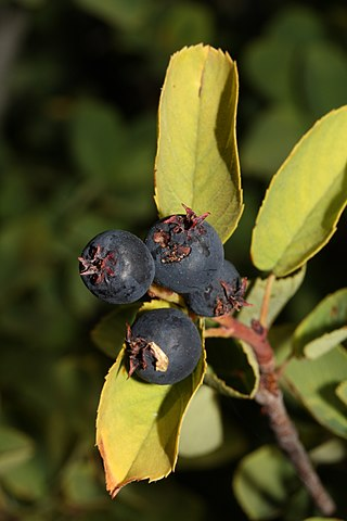 Close up of Saskatoon fruit.