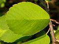 Amelanchier alnifolia leaf (3288776823).jpg