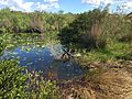 American Alligator - Alligator mississippiensis, Everglades National Park, Homestead, Florida - 31378142434.jpg