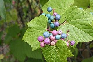 "<i>Ampelopsis glandulosa <span style=""font-style:normal;"">var.</span> brevipedunculata</i> species of ornamental plant"