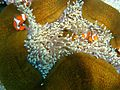 Amphiprion ocellaris 4.jpg