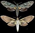 Amphonyx lucifer MHNT CUT 2010 0 67 Itatiaia National Park female.jpg
