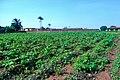 An okra field.jpg