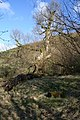 An old oak - geograph.org.uk - 741986.jpg