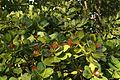 Anacardium occidentale foliage.JPG