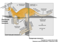 Anatomical-directions-kangaroo-rus.png