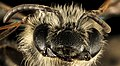 Andrena heraclei, f, face, 2016-04-05-15.06 (26265795446).jpg