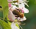 Andrena nitida female - Flickr - gailhampshire (3).jpg