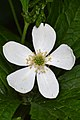 Anemone (Anemone sp.) - Kitchener, Ontario.jpg