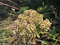 Angelica sylvestris kz02.jpg