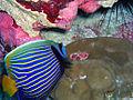 Anglefish and Hump Coral - Howland Island NWR.jpg