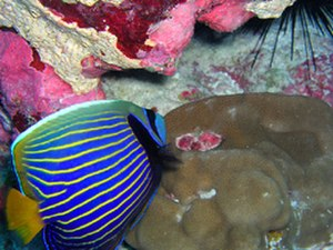 Howland Island - Emperor Angelfish and hump coral - Howland Island NWR.