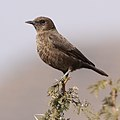 Ant-eating Chat (or Southern Anteater-chat), Myrmecocichla formicivora (37523526776).jpg