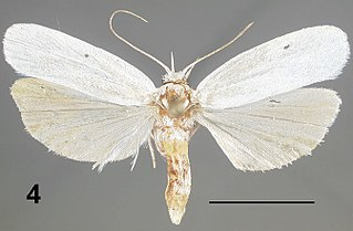 Stenomatinae Subfamily of small moths