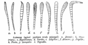 Antennal shape in the Lepidoptera from C. T. Bingham (1905)