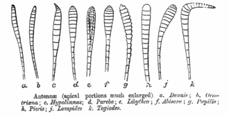 Antennal shape in the Lepidoptera from C. T. Bingham (1905) Antennae ctb.png