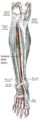 Anterior tibial artery.png