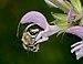 Anthophora on Salvia 1.jpg