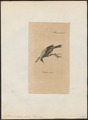 Anthornis melanura - 1810 - Print - Iconographia Zoologica - Special Collections University of Amsterdam - UBA01 IZ19200035.tif