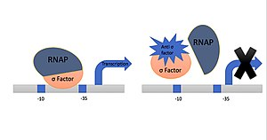 Anti-sigma factors - Anti-sigma Factor binds to Sigma Factor and inhibits its activity.