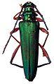 Aphrodisium niisatoi - ZooKeys-275-067-g001-3.jpeg
