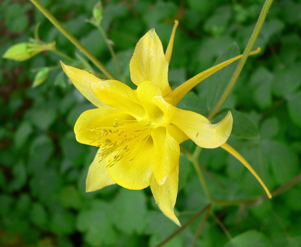 Aquilegia chrysantha wikipedia dhlflorist Image collections