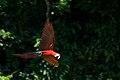 Ara chloropterus -Peru -flying-8c.jpg