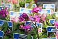 Arabis blepharophylla Spring Charm 10zz.jpg
