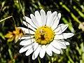 Araignée (Xysticus) sur un astéracée (Asteraceae).jpg