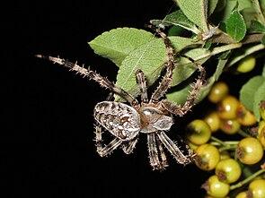 Gartenkreuzspinne (Araneus diadematus), Weibchen