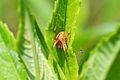 Araneus sp. (14724338739).jpg