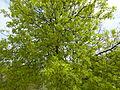 Arbre du Jardin des Plantes au printemps.JPG