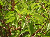 Arbutus andrachne leaves (Ab plant 101).jpg