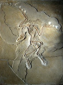 Fossil of complete Archaeopteryx, including indentations of feathers on wings and tail