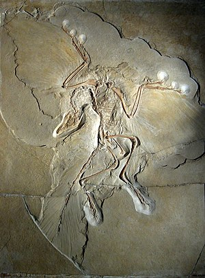 Origin of birds - The Berlin specimen of Archaeopteryx lithographica