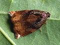 Archips podana ♂ - Large fruit-tree tortrix (male) - Листовёртка-толстушка всеядная (самец) (27426061468).jpg