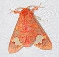 Arctiid Moth (Zatrephes crocos) (40499449571).jpg