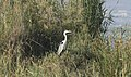 Ardea cinerea - Grey heron 10.jpg