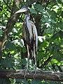 Ardea purpurea (Wroclaw zoo)-1.JPG