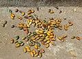 Areca nuts drying.jpg