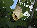 Aristolochia 2015-10-03 5955.JPG