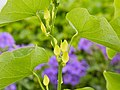Aristolochia clematitis-IMG 0616.jpg