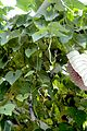 Aristolochia grandiflora leaves.jpg