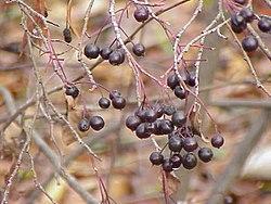 Aronia prunifolia0.jpg