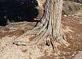 Arrels d'un xiprer del calvari de Benilloba.JPG