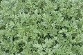Artemisia absinthium in Jardin Botanique de l'Aubrac.jpg