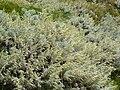 Artemisia arborescens 1 (Corse).JPG