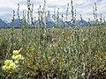 Artemisia arbuscula (9374186174).jpg