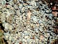 Arthonia caesia-2.jpg